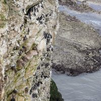 Birds on a cliff face - Flamborough Head North Yorkshire | northolmefiley.com